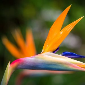 Bird of paradise sale in Nairobi