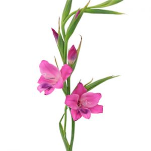 gladiolus-flowers-gladiolus-flower sale in Nairobi